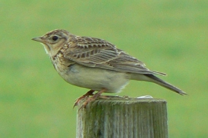Skylark2_Cley_21Jun12