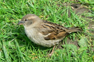 Sparrow_7May12_Weymouth