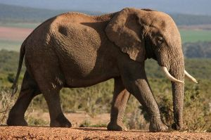 African_Elephant_With_Big_Tusks_600