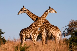 Giraffe_Ithala_KZN_South_Africa_Luca_Galuzzi_2004