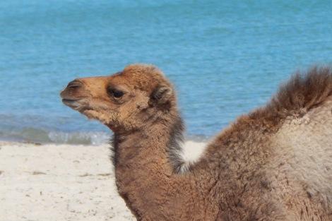 Camel_2Mar15