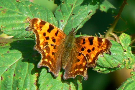 Comma_Hengistbury_22Sep12