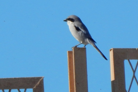 Shrike1_Kantaoui_3Mar15