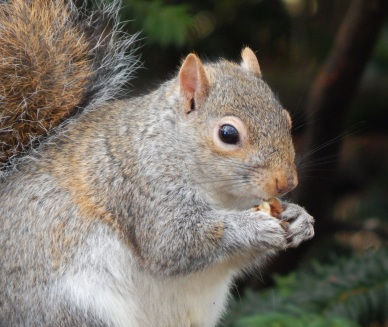 Squirrel1_HollandPark_15Feb15