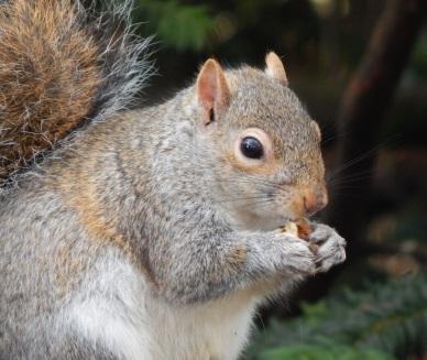 Squirrel1_HollandPark_15Feb15