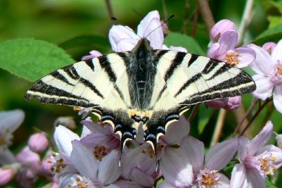 Swallowtail_StFelixdeVilladeix_17May08